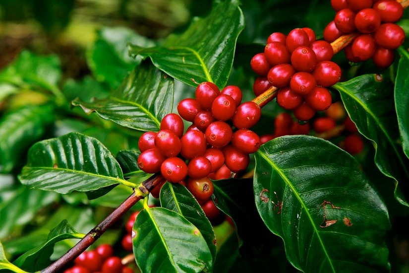 History of Coffee in Costa Rica (コーヒーの歴史)