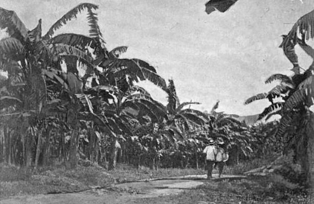 GoldenValePlantation_ca1894_bananas_BostonFruitCo_Jamaica